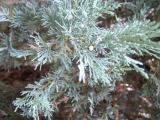 Jalovec skalní - Juniperus scopulorum, 2006