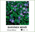 barvinek_mensi_-_Vinca_Minor.jpg