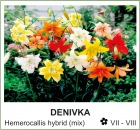 denivka_-_Hemerocallis_hybrid__mix_.jpg